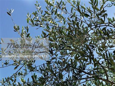 Tree Branch and Sky, Italy