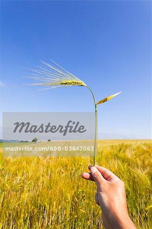 Man Holding Barley Ear, Bergisches Land, North Rhine-Westphalia, Germany