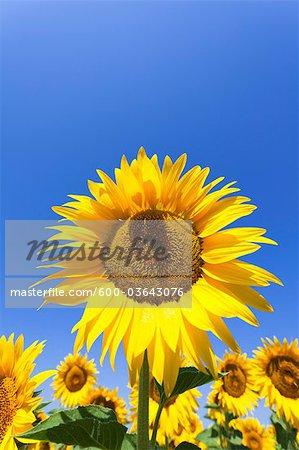 Sunflowers Ready for Harvest, Manosque, Alpes-de-Haute-Provence, Provence, Provence-Alpes-Cote d'Azur, France