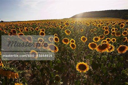Sunflower Field, Aude, Languedoc-Roussillon, France