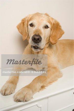 Portrait of Golden Retriever