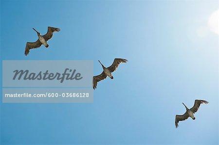 Brown Pelicans Flying, California Coast, USA