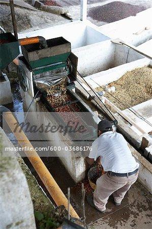 Coffee Beans in Pulper, Finca Vista Hermosa Coffee Plantation, Agua Dulce, Huehuetenango Department, Guatemala