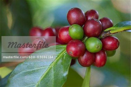 Close-up of Coffee Berries, Finca Villaure Coffee Plantation, Hoja Blanca, Huehuetenango Department, Guatemala