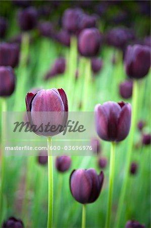 Black Tulips, Ottawa, Ontario, Canada