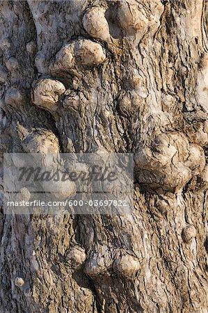 Apple Tree Trunk, Aschaffenburg, Franconia, Bavaria, Germany