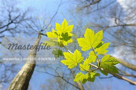 Maple Leaves, Aschaffenburg, Franconia, Bavaria, Germany