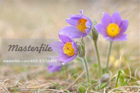 Pasque Flower, Wuerzburg, Franconia, Bavaria, Germany