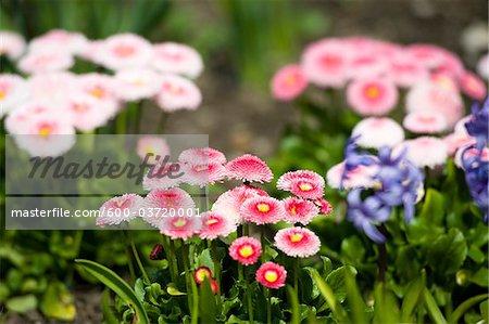 English Daisies, Mirabell Garden, Salzburg, Salzburger Land, Austria