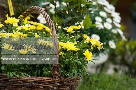 Yellow Marguerites in Basket, Salzburg, Salzburger Land, Austria