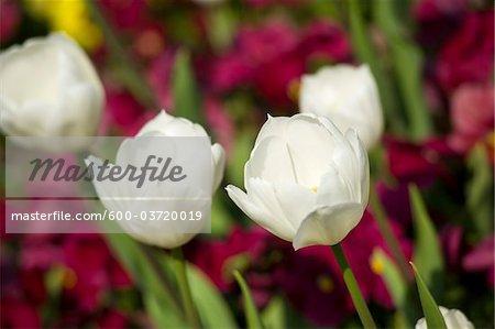 Tulips, Mirabell Garden, Salzburg, Salzburger Land, Austria