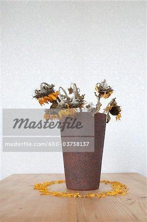 Shrivelled Sunflowers in Vase