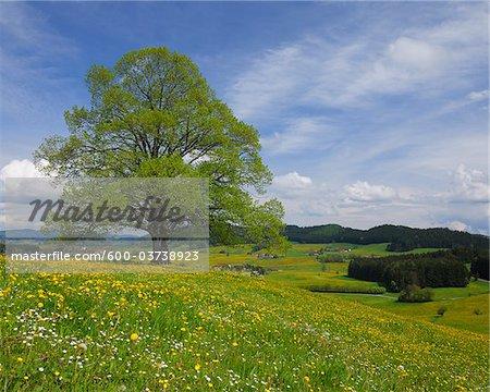 Lime Tree in Spring, Heimhofen, Allgau, Bavaria, Germany