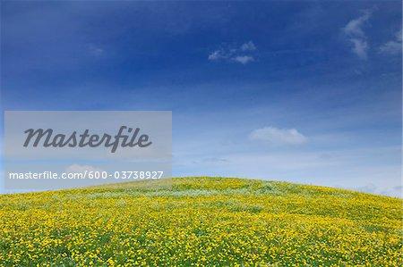 Meadow with Dandelions, Allgau, Bavaria, Germany