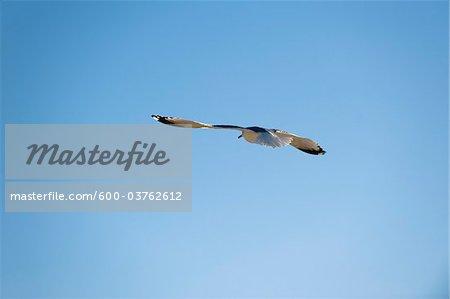Seagull, Spring Hill, Florida, USA