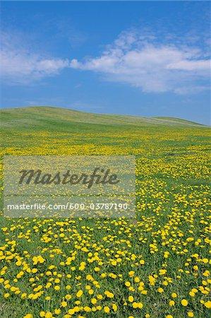 Meadow with Dandelions, Mecklenburg-Vorpommern, Germany