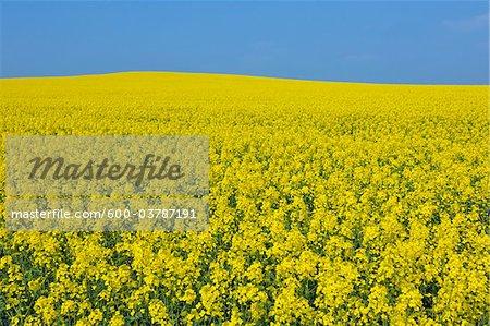 Canola Field in Spring, Bavaria, Germany