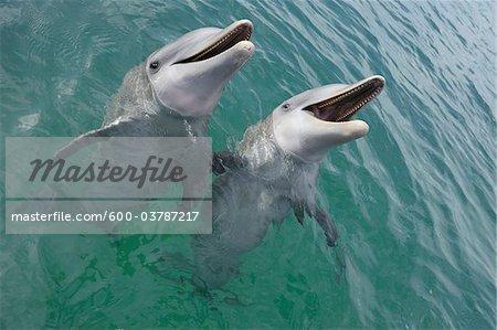 Common Bottlenose Dolphins, Caribbean Sea, Roatan, Bay Islands, Honduras