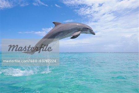 Common Bottlenose Dolphin Jumping in Air, Caribbean Sea, Roatan, Bay Islands, Honduras