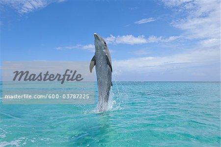 Common Bottlenose Dolphin Swimming Backwards on Tail, Caribbean Sea, Roatan, Bay Islands, Honduras