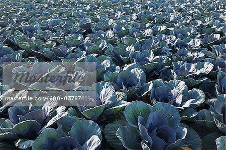 Red Cabbage Field, Unterpleichfeld, Wurzburg District, Franconia, Bavaria, Germany