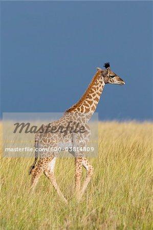 Masai Giraffe Calf, Masai Mara National Reserve, Kenya