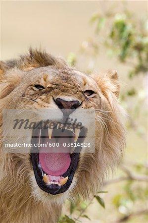 Young Male Lion Roaring, Masai Mara National Reserve, Kenya
