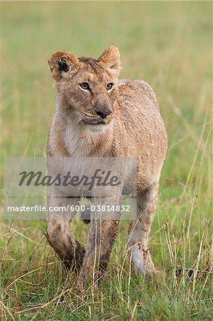 Female Lion, Masai Mara National Reserve, Kenya