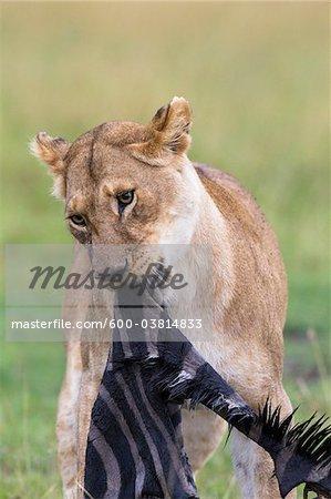 Lioness eating Zebra, Masai Mara National Reserve, Kenya