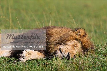 Male Lion Sleeping, Masai Mara National Reserve, Kenya