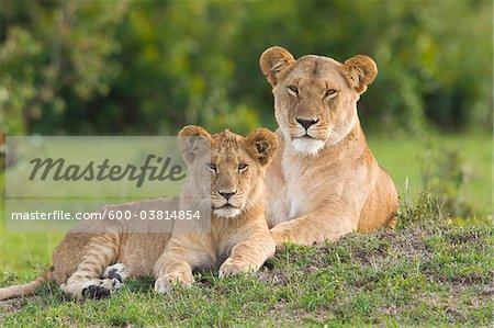Lion Mother with Young, Masai Mara National Reserve, Kenya