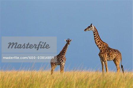 Masai Giraffe with Calf, Masai Mara National Reserve, Kenya