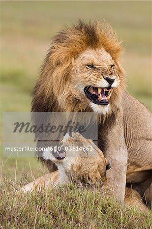 Mating Lions, Masai Mara National Reserve, Kenya