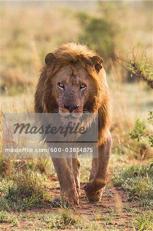 Male Lion, Masai Mara National Reserve, Kenya