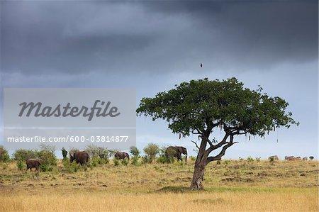African Bush Elephants and Sausage Tree, Masai Mara National Reserve, Kenya