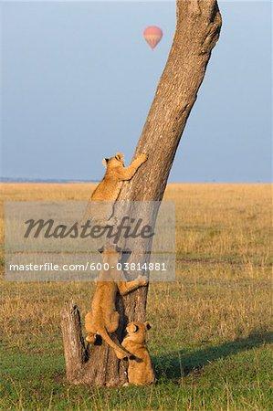 Lion Cubs Climbing Tree, Masai Mara National Reserve, Kenya