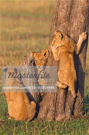 Lion Cubs at Tree Trunk, Masai Mara National Reserve, Kenya