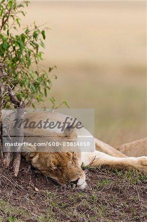 Female Lion Sleeping, Masai Mara National Reserve, Kenya