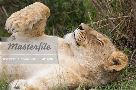 Female Lion Resting, Masai Mara National Reserve, Kenya