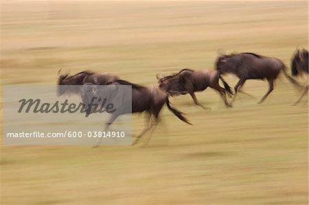 Blue Wildebeests Running, Masai Mara National Reserve, Kenya