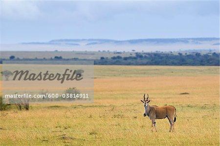 Common Eland, Masai Mara National Reserve, Kenya