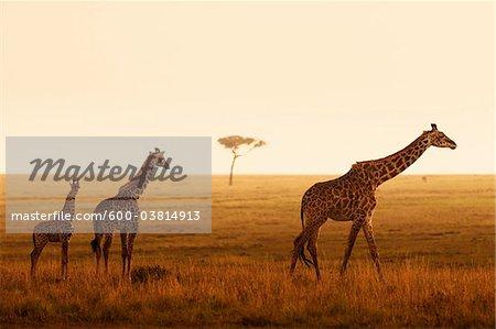 Masai Giraffes, Masai Mara National Reserve, Kenya