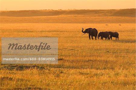 African Bush Elephants, Masai Mara National Reserve, Kenya