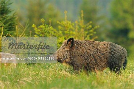 Wild Boar, Bavaria, Germany