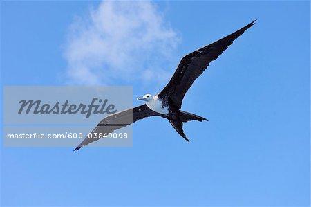 Great Frigatebird in Flight, Roatan, Bay Islands, Honduras