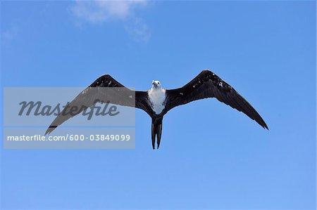 Great Frigatebird in Flight. Roatan, Bay Islands, Honduras