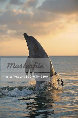 Common Bottlenose Dolphin in Sea at Sunset, Roatan, Bay Islands, Honduras
