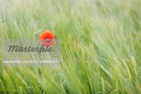 Shirley Poppy in Barley Field, Franconia, Bavaria, Germany