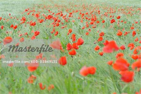 Shirley Poppies in Barley Field, Franconia, Bavaria, Germany