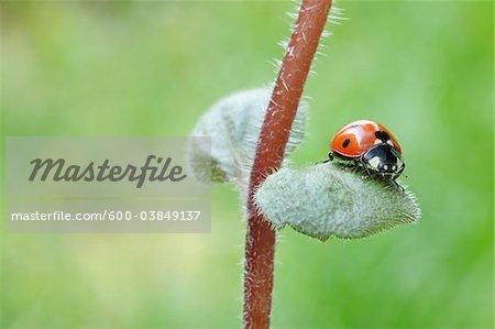 Seven Spot Ladybird on Leaf. Franconia, Bavaria, Germany